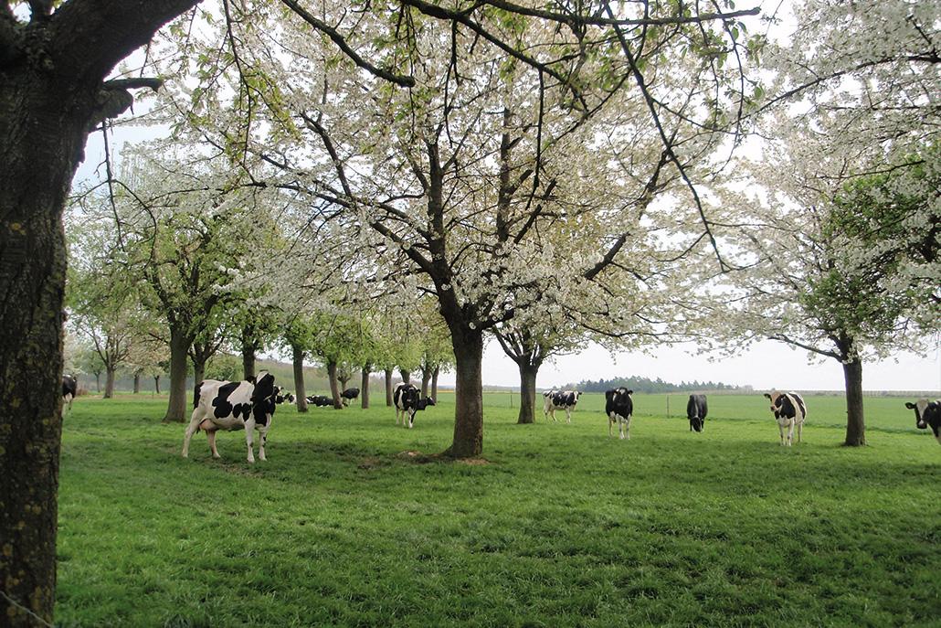 Bloesemboerderijmetkoeien