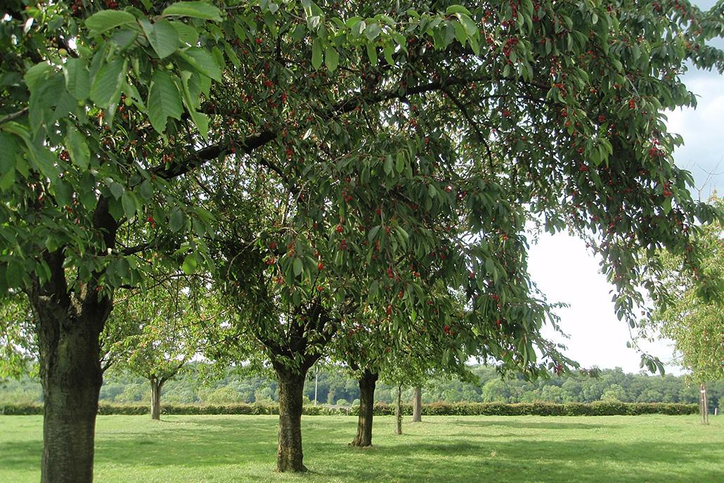 Kersenboom_2